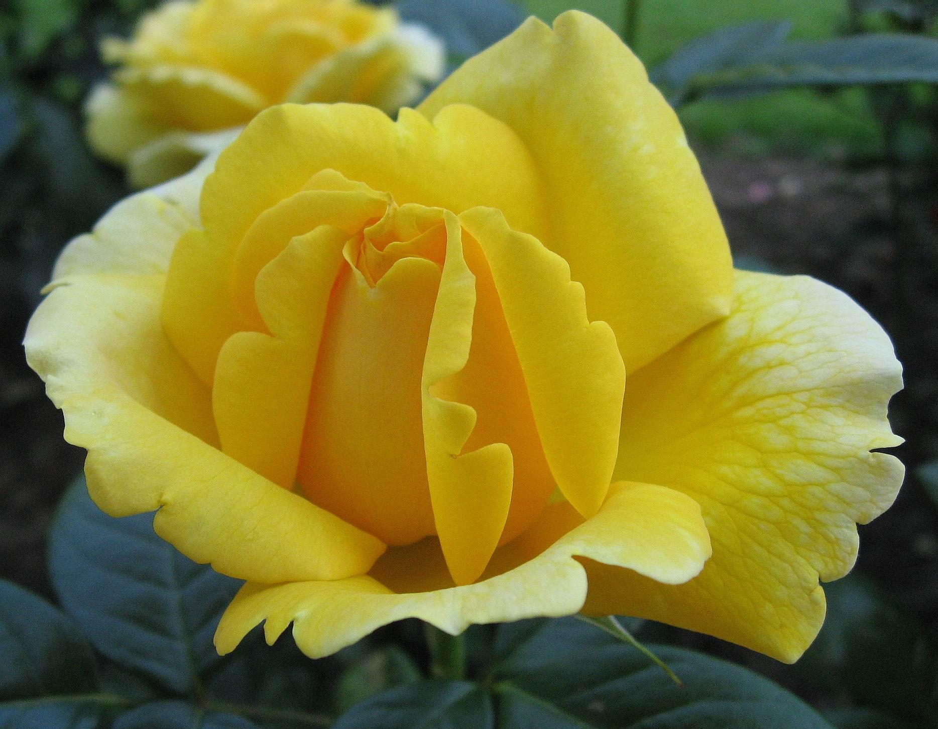 صورة اجمل ورود في العالم , اجمل الكلمات عن الورد واحلى الصور
