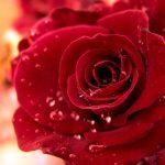 زهور جميلة , زهره الربيع الاجمل
