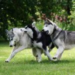 اشرس انواع الكلاب , تعرف على انواع الكلاب الشرسة فى العالم