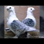 حمام زينه , اجمل طيور الزينه فى العالم