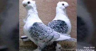 صورة حمام زينه , اجمل طيور الزينه فى العالم