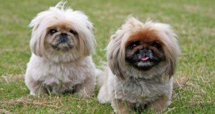 صور انواع الكلاب , صور لاجمل انوع الكلاب الصغيره
