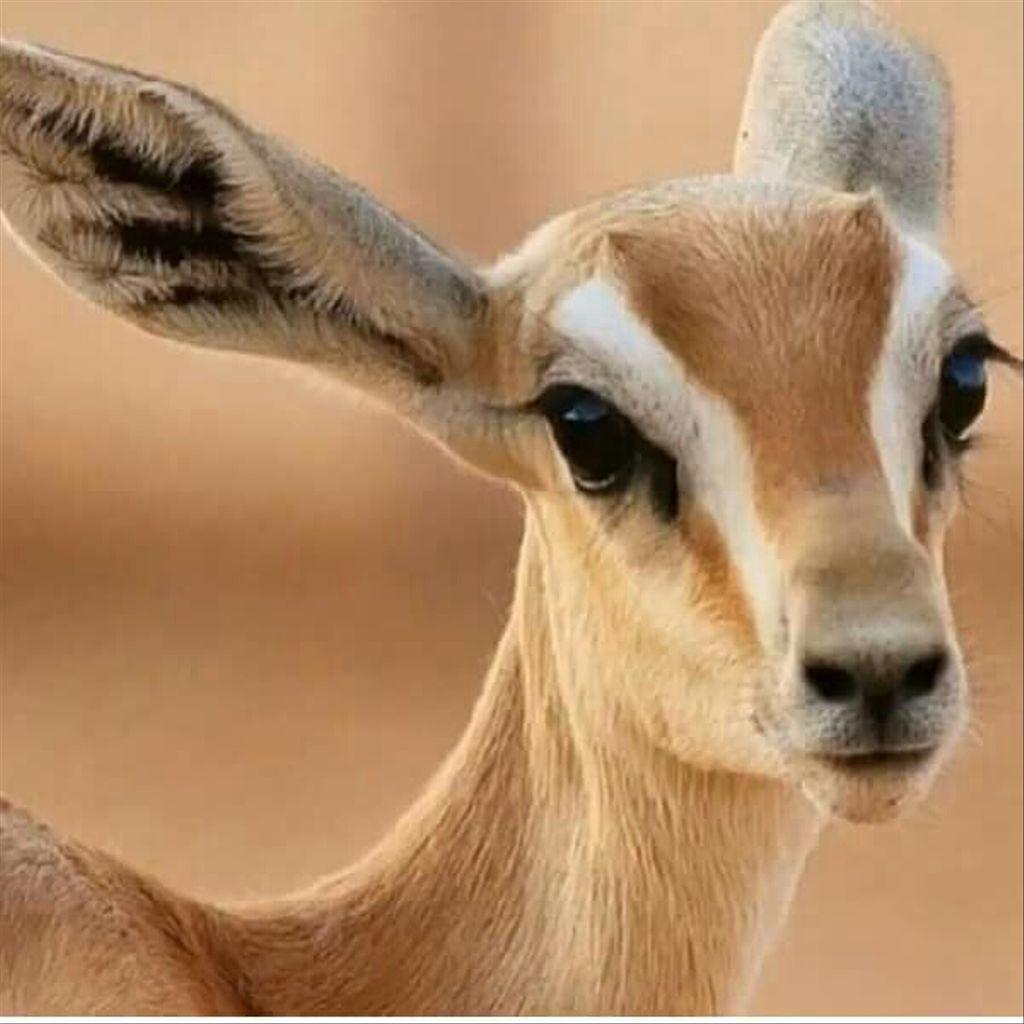 صورة عيون الريم , اجمل صور عيون لحيوان الغزلان