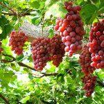 فوائد العنب الاحمر , العنب الاحمر وفوائده العظيمه