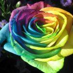 اجمل وردة في العالم , صور لاجمل ورده فى العالم