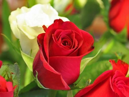 صورة صور اجمل الورود , اجمل باقات الورد 5076 1