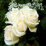صور اجمل الورود , اجمل باقات الورد