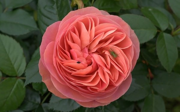 صورة صور اجمل الورود , اجمل باقات الورد 5076 6