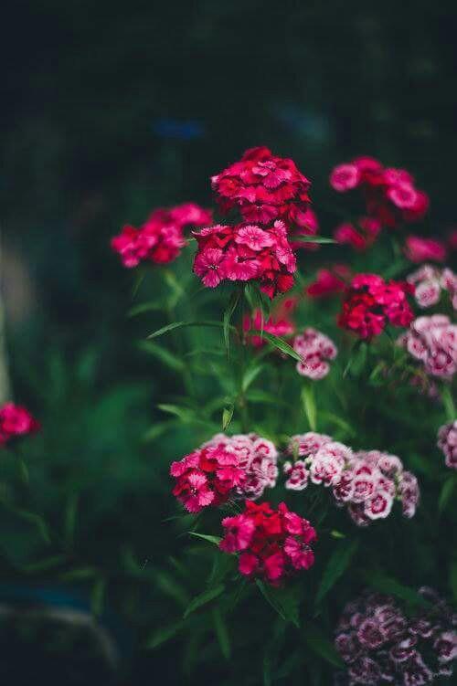 صورة صور خلفيات ورد , ارق صور الورد جميلة جدا 511 2