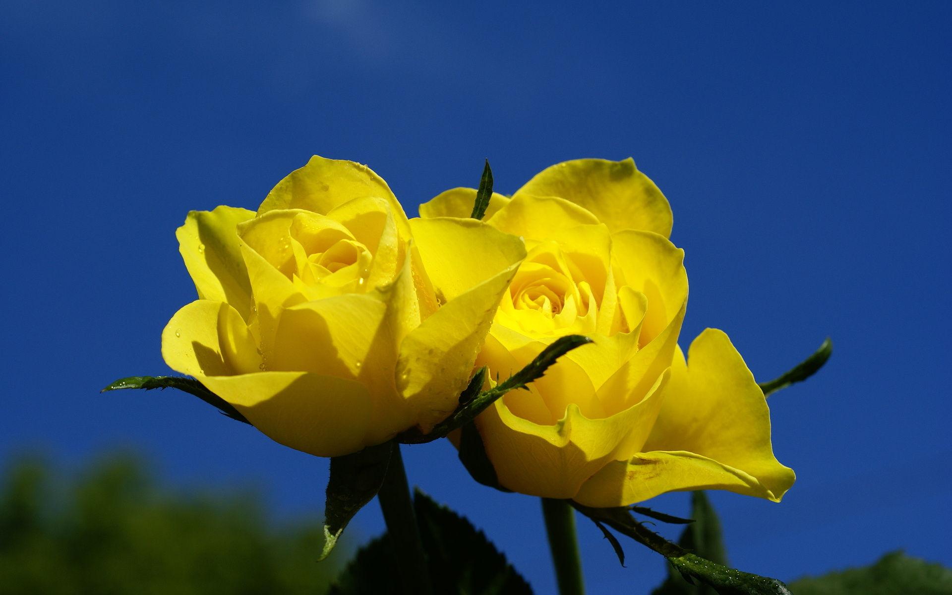 صورة صور عن الورد , صور عن الورد رؤعة مفيش اجمل منها 516 2