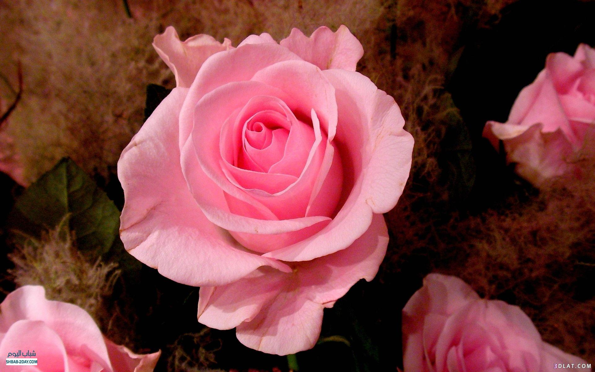 صورة صور عن الورد , صور عن الورد رؤعة مفيش اجمل منها 516 6