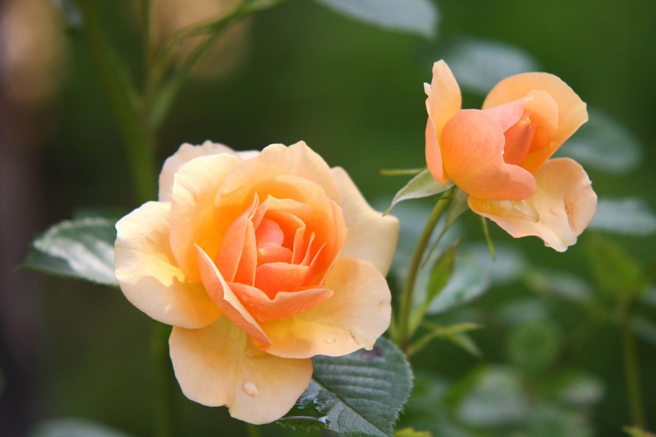 صورة صور اجمل الورد , ارق باقات محملة بشذى الزهور 13024 8