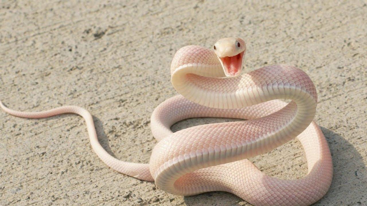 صورة تفسير الافعى البيضاء في المنام , مدلول رؤيا الثعبان الابيض فى الحلم