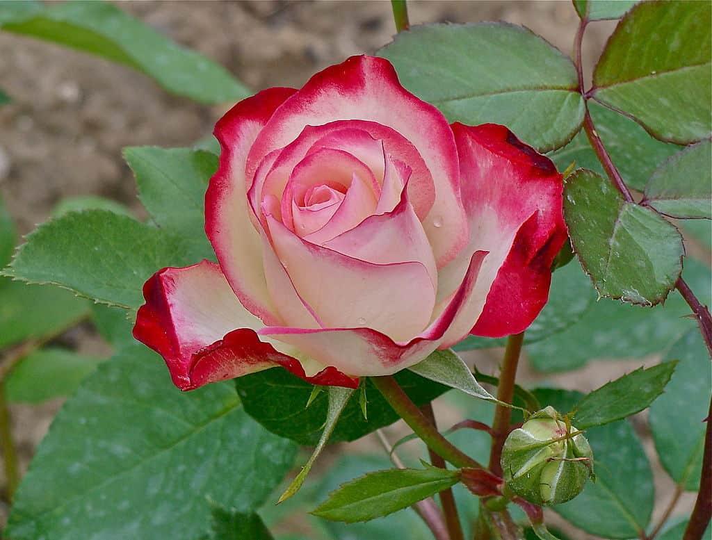 صورة اسماء الورود العربية , تعرف على الورد باشكاله واسمائه بالصور 13020 1