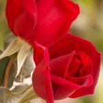 اسماء الورود العربية , تعرف على الورد باشكاله واسمائه بالصور