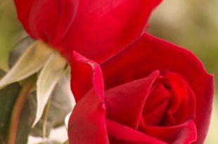 صورة اسماء الورود العربية , تعرف على الورد باشكاله واسمائه بالصور