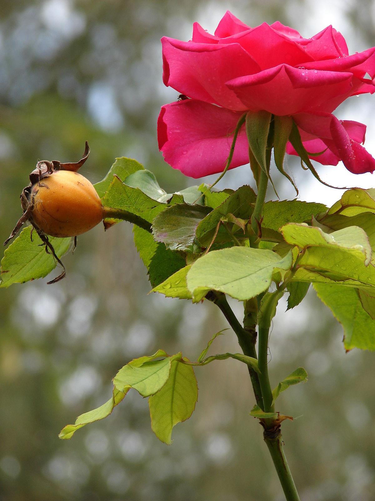 صورة اسماء الورود العربية , تعرف على الورد باشكاله واسمائه بالصور 13020 3