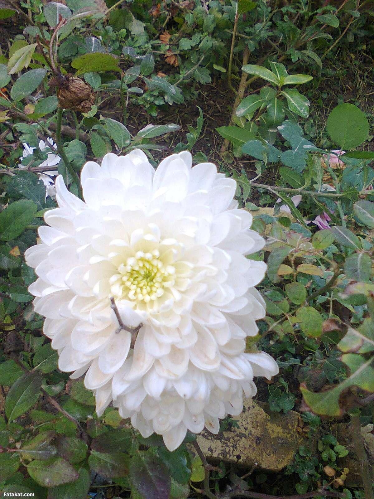 صورة اسماء الورود العربية , تعرف على الورد باشكاله واسمائه بالصور 13020 6