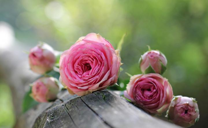 صورة اسماء الورود العربية , تعرف على الورد باشكاله واسمائه بالصور 13020 8