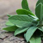 فوائد المرمية , المميزات الصحية لعشبة المرمية