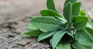 صور فوائد المرمية , المميزات الصحية لعشبة المرمية