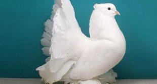 صورة حمام هزاز , صور لاجمل نوع طائر الحمام