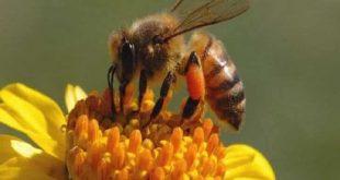 صور تفسير حلم قرصة النحلة , لدغة النحلة للذكر والانثى في المنام