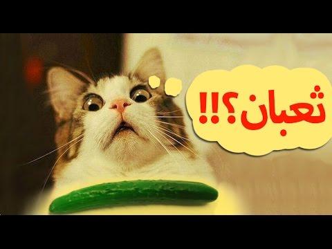 صورة صور مضحكة قطط , غير مودك بقطه