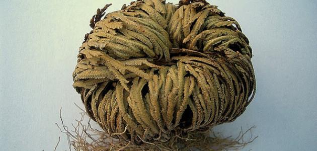 صورة عشبة كف مريم , نبات لم تتخيل فوائده الكثيرة