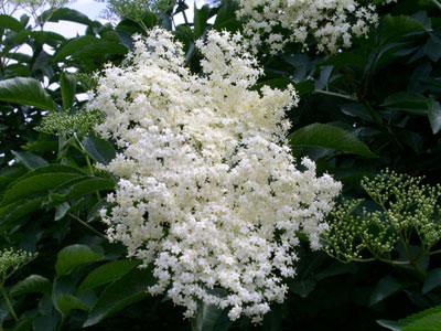 صورة معنى اسم بيلسان , الزهرة البيضاء ذات الرائحة الجميلة