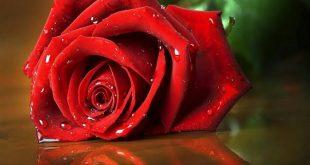 صورة ورود الحب , واو علي جمال الورود تحيي النفس