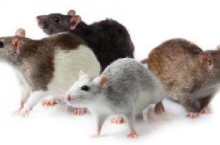 صورة لو عايز تخلص من الفئران من هنااااااااا , القضاء على الفئران
