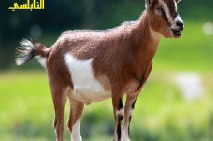 صورة تفسير الاحلام , تفسير رؤية الماعز في المنام