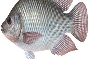 صورة فوائد السمك , انواع السمك بالصور والاسماء