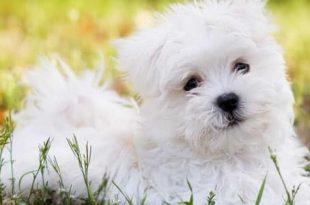 صورة تفسير لرؤية الكلب , رؤية الكلاب البيضاء في المنام