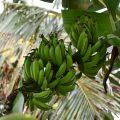 صورة شجرة الموز